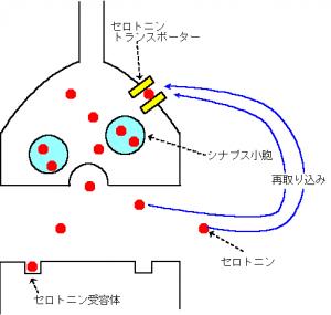 セロトニン神経の働き1